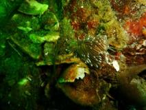 flabellina-browni-gl-aalbo