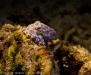 blauring-oktopus-giftiger-zwerg-die-zweite
