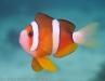 clownfish-4150342