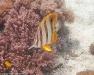 kupferstreifen-pinzettfisch-falterfisch