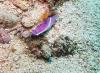 prachtsternschnecke-hypselodoris-bullockii