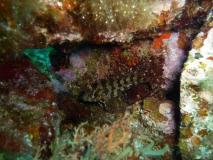 schleimfisch-blenniidae