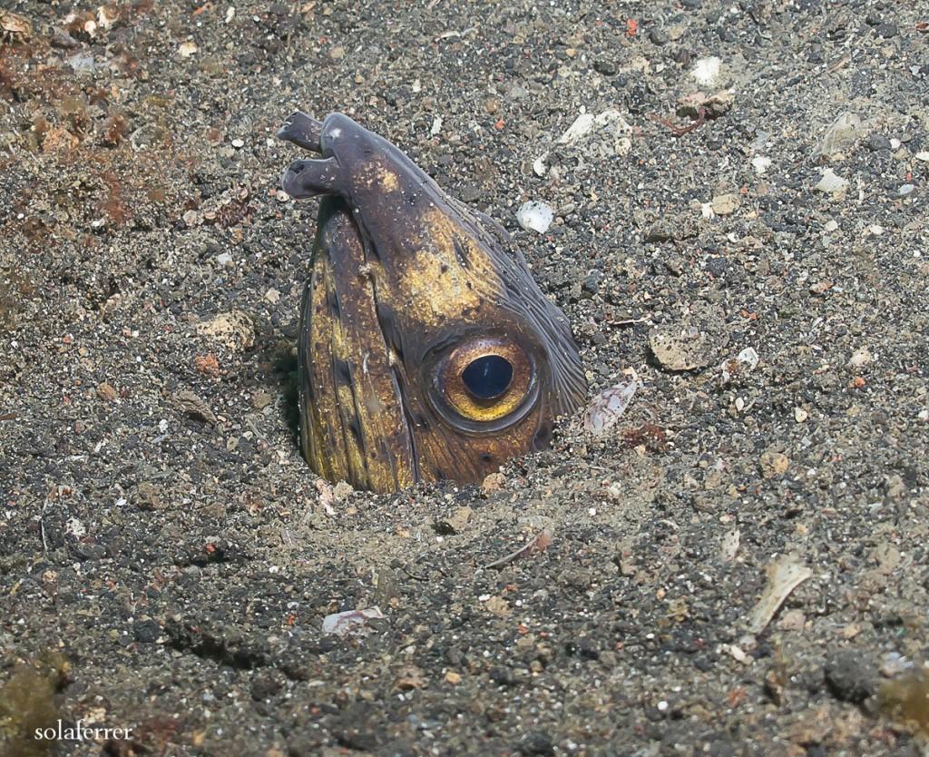 Blacksaddle-Snake-Eel