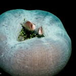 Skunk-anemonefish